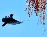 福州国家森林公园棕榈树果实熟了
