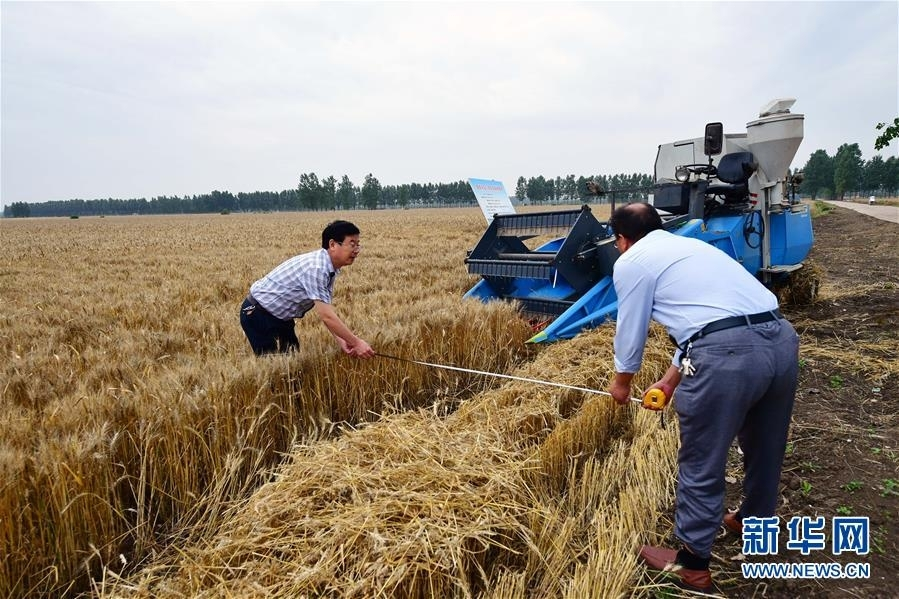 5月29日,在河南省邓州市腰店镇国家杂交小麦项目制种基地,工作人员正在测量机收实际面积。