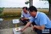 5月29日,在河南省邓州市腰店镇国家杂交小麦项目制种基地,工作人员将田间随机多点取样的小麦称重。