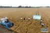 5月29日,在河南省邓州市腰店镇国家杂交小麦项目制种基地,收割机在收割小麦(无人机航拍)。