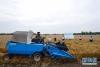 5月29日,在河南省邓州市腰店镇国家杂交小麦项目制种基地,收割机正在收割小麦。
