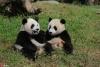 """为""""国宝""""取名 都江堰4只大熊猫宝宝面向全球征名【1】"""