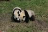 """为""""国宝""""取名 都江堰4只大熊猫宝宝面向全球征名【3】"""