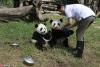 """为""""国宝""""取名 都江堰4只大熊猫宝宝面向全球征名【4】"""
