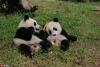 """为""""国宝""""取名 都江堰4只大熊猫宝宝面向全球征名【5】"""