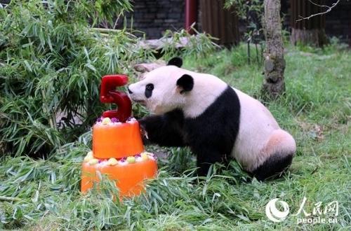 """大熊猫""""星雅""""正在享受生日美味。记者任彦摄"""